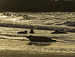 Grey Seals in morning light, Halichoerus grypus