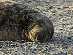 Grey Seal sleeping, Halichoerus grypus