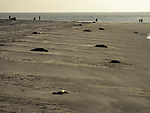 Grey Seals and peoples on beach, Halichoerus grypus