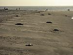 Kegelrobben und Menschen am Strand, Halichoerus grypus