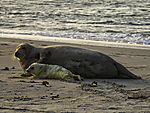 Grey Seal with newborn cub, Halichoerus grypus
