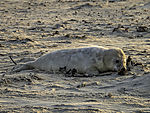 young Grey Seal on beach, Halichoerus grypus