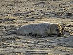 junge Kegelrobbe am Strand, Halichoerus grypus