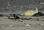 young Grey Seal and Carrion Crow, Halichoerus grypus, Corvus corone