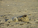 Grey Seal with cub, Halichoerus grypus