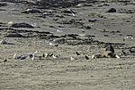 Vögel profitieren von Robbengeburten