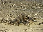 Grey Seals mating, Halichoerus grypus