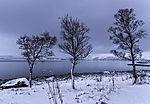 drei Birken am Meer, Betula sp.