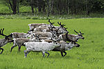 herd of Reindeer in velvet, Rangifer tarandus