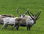 Reindeer in velvet, Rangifer tarandus