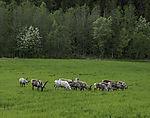 herd of Reindeer on meadow, Rangifer tarandus