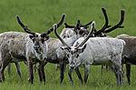 Reindeer on meadow, Rangifer tarandus