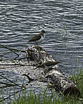 Common Sandpipers at river, Actitis hypoleucos