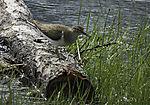 Common Sandpiper calling, Actitis hypoleucos