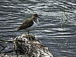Common Sandpiper on stem at river, Actitis hypoleucos