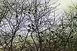 House Sparrows in polar night