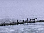 Cormorants on jetty, Phalacrocorax carbo