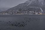 Eider Ducks in polar night, Somateria mollissima