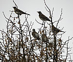 Fieldfares migration, Turdus pilaris