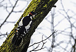 Great Spotted Woodpecker looking for food; Dendrocopus major