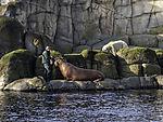 Walrossfütterung und Eisbär, Odobenus rosmarus, Ursus maritimus