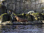 feeding of Walrus, Odobenus rosmarus, Ursus maritimus