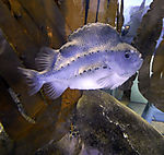 Lumpfish, Cyclopterus lumpus