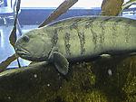 Catfish, Anarhichas lupus