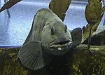 Catfish portrait, Anarhichas lupus