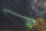 aurora and tree