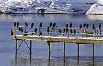Cormorants on pier, Phalacrocorax carbo