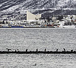 waterfowl in Tromso
