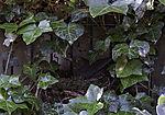 Blackbird building nest in winter, Turdus merula