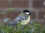 Great Tit at house, Parus major