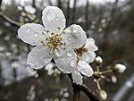 flowering Cherry Plum, Prunus cerasifera