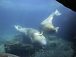 Walrosse bei Futtersuche unter Wasser, Odobenus rosmarus