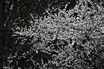 flowering Blackthorn, Prunus spinosa