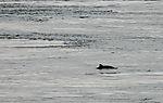 Schweinswal im Rystraumen, Phocoena phocoena