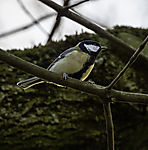 Great Tit in morning light, Parus major