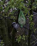 Long-tailed Tit on feeding place, Aegithalos caudatus
