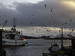 Seagulls over fishing harbour on island Sommaröy