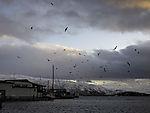 Seagulls over wind park