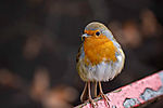 European Robin feeding nestlings in march, Erithacus rubecula