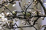 Blue Tits and Cherry blossoms, Parus caeruleus