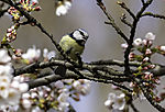 Blue Tit singing in Cherry blossoms, Parus caeruleus
