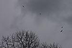 Buzzards over Hamburg, Buteo buteo