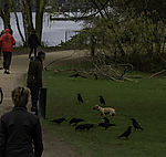 dog and birds at lake Alster