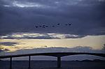 Cormorants over bridge to island Sommaröy, Phalacrocdorax carbo