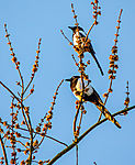 pair of Magpies in morning light, Pica pica
