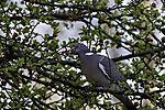 Wood Pigeon eats wild apples, Columba palumbus